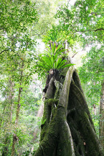 Strangler Fig by Mark Lucock