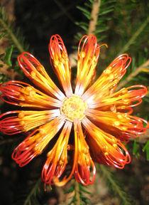 Banksia ericifolia von Mark Lucock
