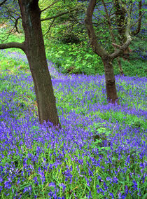 Tree in carpet of bluebells von Mark Lucock