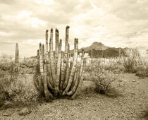 Organ Pipe Cactus - Stenocereus thurberi von Mark Lucock