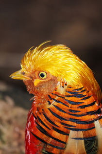 Golden Pheasant von Mark Lucock