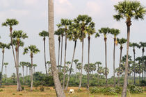 Sugar Palms near Phnom Penh von Mark Lucock