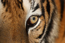 Close-up of Tigers Face by Mark Lucock