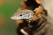 Freckled Monitor Lizard by Mark Lucock