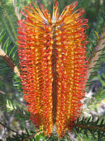 Banksia ericifolia by Mark Lucock