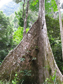 Rainforest tree buttress roots by Mark Lucock