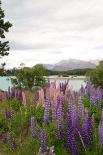 Lupins by Lake Tekapo von Mark Lucock
