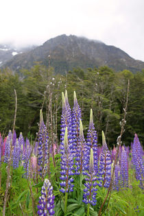 Lupins by Mark Lucock