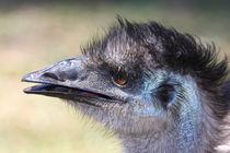 Emu von Mark Lucock