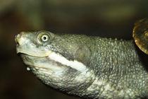Saw-Shelled Turtle von Mark Lucock