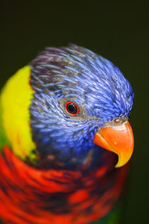 Rainbow Lorikeet von Mark Lucock