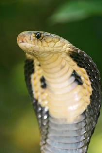 Monocellate Cobra-Naja kaouthia von Mark Lucock