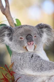 Koala by Mark Lucock
