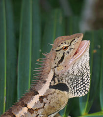 Forest Crested Lizard-Caotes emma von Mark Lucock