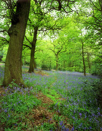 Spring Woodland and carpet of bluebells von Mark Lucock