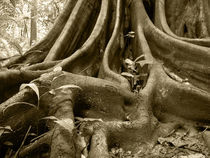 Strangler Fig Roots by Mark Lucock