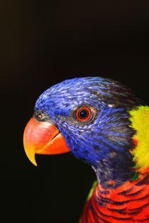 Rainbow Lorikeet by Mark Lucock