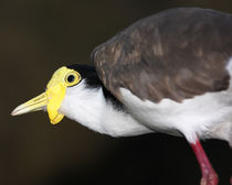 Masked Lapwing by Mark Lucock