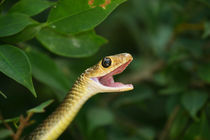 Indo-Chinese Rat Snake-Ptyas korros by Mark Lucock