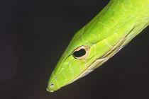 Oriental Whip Snake (Vine Snake) by Mark Lucock