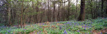 Bluebells in a Spring wood by Mark Lucock