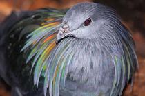 Nicobar Dove by Mark Lucock