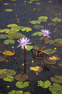 Water Lilies by Mark Lucock
