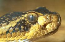 Mohave Rattlesnake von Mark Lucock