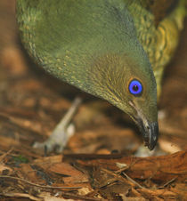 Satin Bowerbird by Mark Lucock