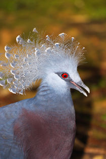Victoria Crowned Pigeon-Goura victoria by Mark Lucock