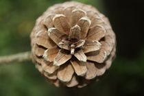 Pine Cone by Danielle Ebron