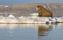 Walrus (Odobenus rosmarus) on sea ice near Kapp Lee in midnight sun by Danita Delimont