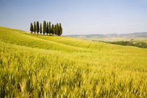 Grouping of Tuscan Cypress Trees In Wheat Field by Danita Delimont