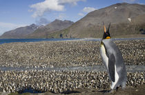King Penguins (Aptenodytes patagonicus) along shoreline at massive rookery along Saint Andrews Bay von Danita Delimont
