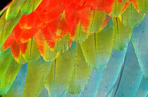 Wing feathers of a blue and red macaw von Danita Delimont