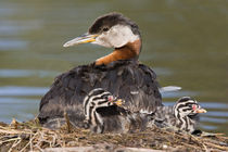 Red-necked Grebe (Podiceps grisegena) on nest with chicks by Danita Delimont