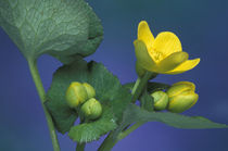 Marsh marigold blossoms and buds (Caltha palustris) by Danita Delimont