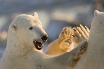 Sparring polar bears give a high five by Danita Delimont