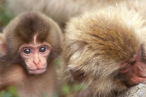 Snow Monkey Mother and Baby (Macaca fuscata) by Danita Delimont