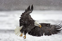 Bald eagle flies in snowstorm by Danita Delimont