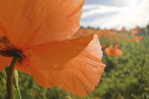 Fire Poppies Growing in the Palouse Region of Washington State von Danita Delimont