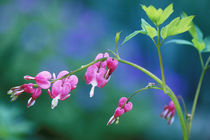 Pink bleeding hearts in garden by Danita Delimont