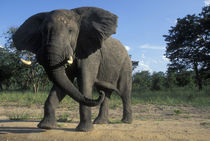 Aggressive Bull Elephant (Loxodonta africana) at jungle's edge von Danita Delimont