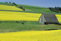 Canola and old wooden barn (Property Release) by Danita Delimont