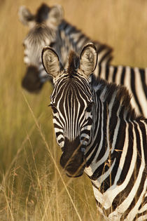 Equus burchellii von Danita Delimont