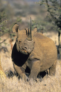 Portrait of an endangered black rhino von Danita Delimont