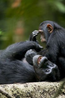 Juvenile Chimpanzee (Pan troglodytes) playing with adult in rainforest clearing von Danita Delimont