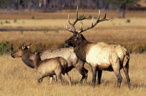 Bull elk with mother and calf in meadow von Danita Delimont