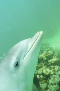 Bottlenose Dolphins (Tursiops truncatus) Caribbean Sea von Danita Delimont