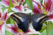 Sammamish Washington Tropical Butterflies photograph Caligo oileus the Brown Owl Butterfly with its wings open showing the beautiful blues resting on Oriental Lilies von Danita Delimont